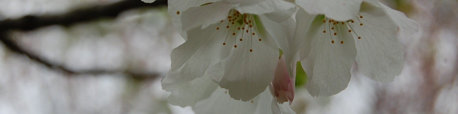 cropped-prunus-speciosa-flower.jpg